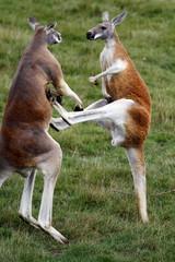 Combat de kangourous