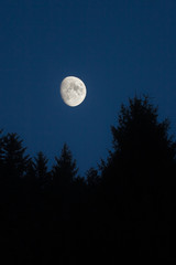 Moon setting over green spruces