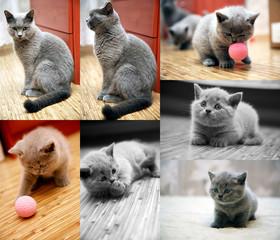 British cat and kitten