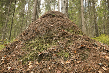 Gigantic ant hill built by southern wood ant (Formica rufa)