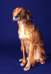 portrait of Irish Setter