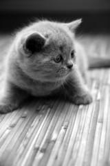 Cute british kitten