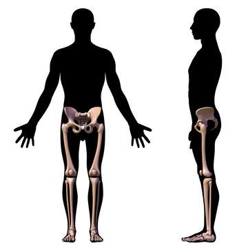 leg bones (front elevation)