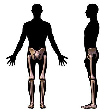 leg bones (back elevation)