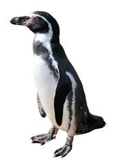 Spheniscus humboldti penguin