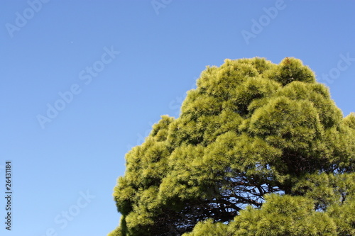pinienbaum stockfotos und lizenzfreie bilder auf bild 26431184. Black Bedroom Furniture Sets. Home Design Ideas