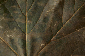 Close-up of mottled autumnal plane tree leaf