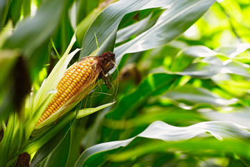 corn cob in the field Fotoväggar