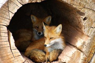 Twin Fox hidden in a hollow log