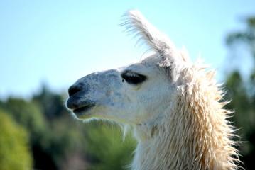 White Alpaca Profile