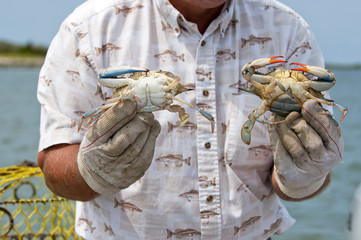 Fisherman on Tangier Island showing male and female crab.