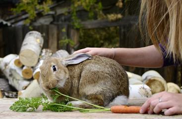 rabbit eats carrot from hand