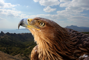 golden eagle over mountanious landscape