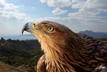 Poster Eagle golden eagle over mountanious landscape