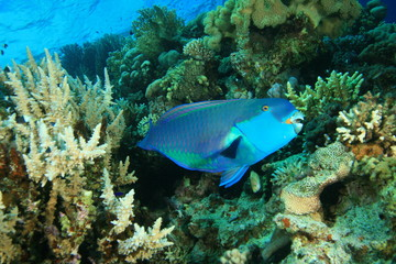 Red Sea Steepheaq Parrotfish (Chlorurus gibbus)