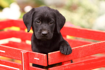 Black Labrador Retriever in Red Wagon 2