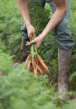 récolte manuelle de carottes bio fraiches