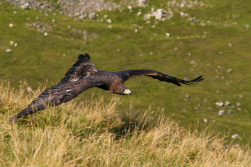 Golden Eagle flying low