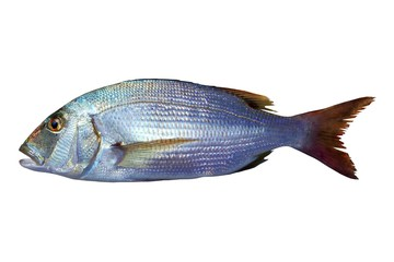 Dentex vulgaris toothed sparus snapper fish