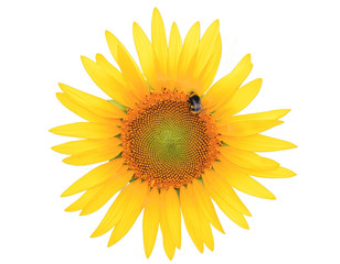 Sunflower and bee isolated on white