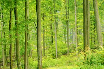 Buchenwald im Herbst - beech forest in fall 07