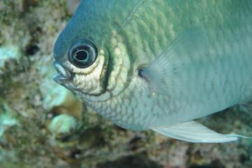 poisson-demoiselle-fish