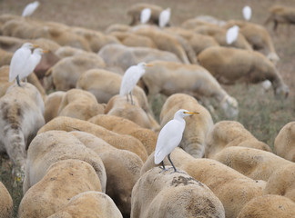 Cattle Egrets Perching on Sheep