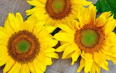 Sunflowers on sacking