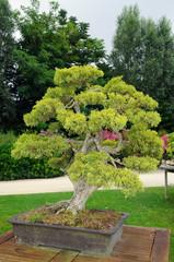 bonsaï extérieur de pin