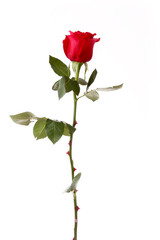 Red rose closeup isolated on white.