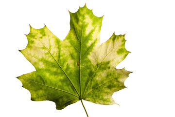 yellow maple leaf isolated on a white background