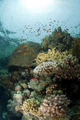 Pristine tropical coral reef in shallow water.