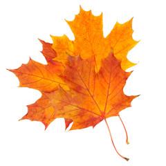 autumn maple leaf isolated on white