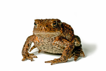 Small toad on white background facing the photographer