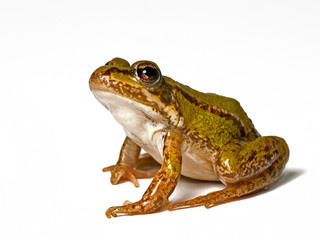 small green frog on a white background, looking up
