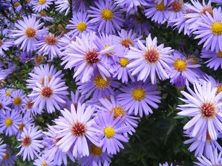 sea asters