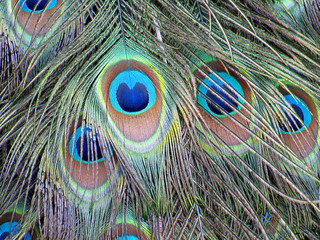 Vibrant colored feather of peacock