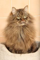 siberian cat attentif - chat de sibérie