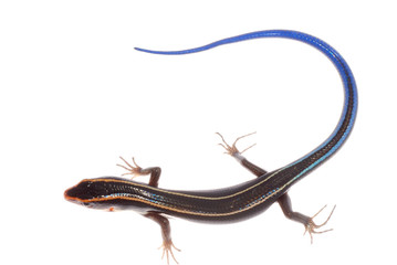 blue tail skink lizard