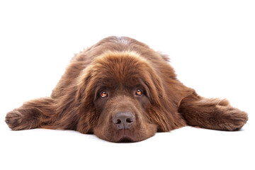 Brown newfoundland dog isolated on white background
