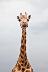 Head of a Giraffe in the wild