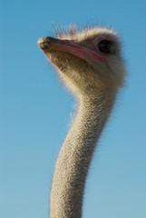 портрет страуса на фоне неба