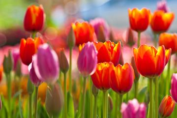 Papiers peints Tulip Colorful Tulips