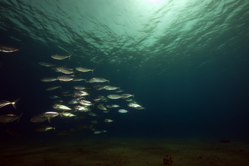 mackerel and ocean