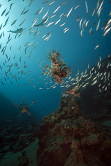lionfish and ocean