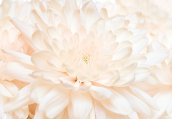 Abstract chrysanthemum close-up