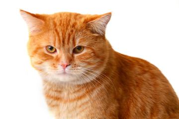 Red cat isolated on a white background
