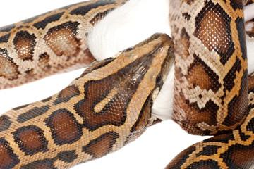boa snake eat rat