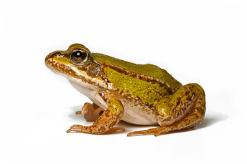 small green frog in profile on a white background