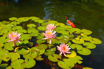 Pink water lilies and pads in Koi pond
